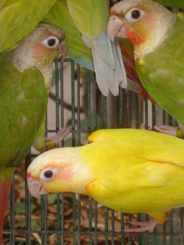 Quot Suncheek Quot Mutation Color Of Green Cheeked Conure Of The