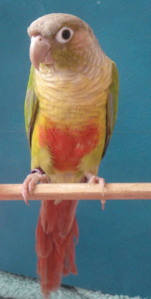 Green Cheeked Conure Males And Females